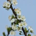 Wild Plum Blossom
