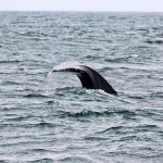 Whale off Newport, OR
